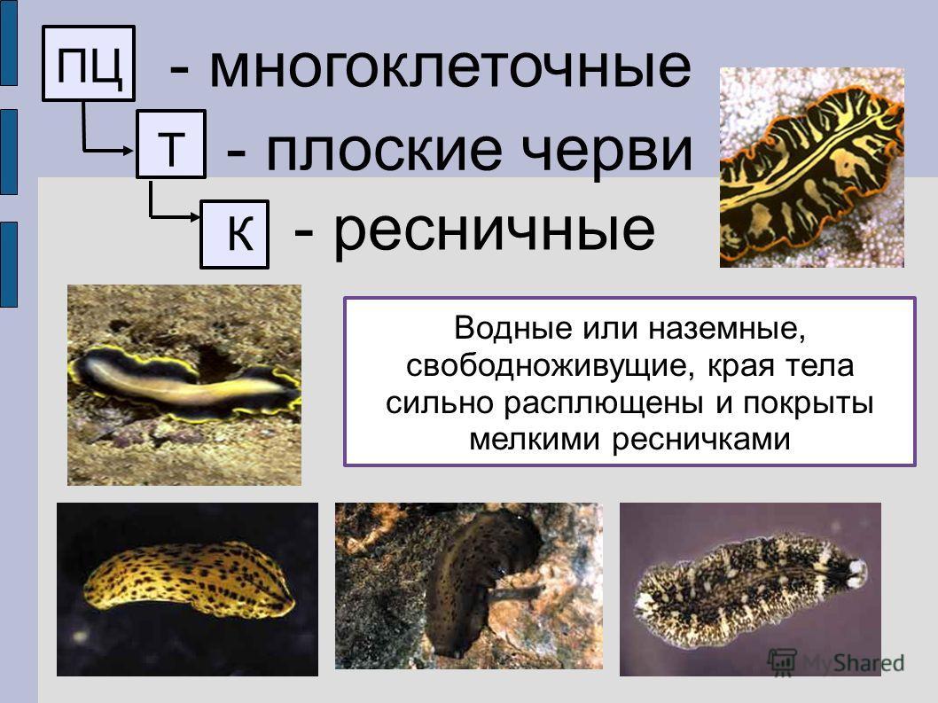 ПЦ - многоклеточные Т - плоские черви К - ресничные Водные или наземные, свободноживущие, края тела сильно расплющены и покрыты мелкими ресничками
