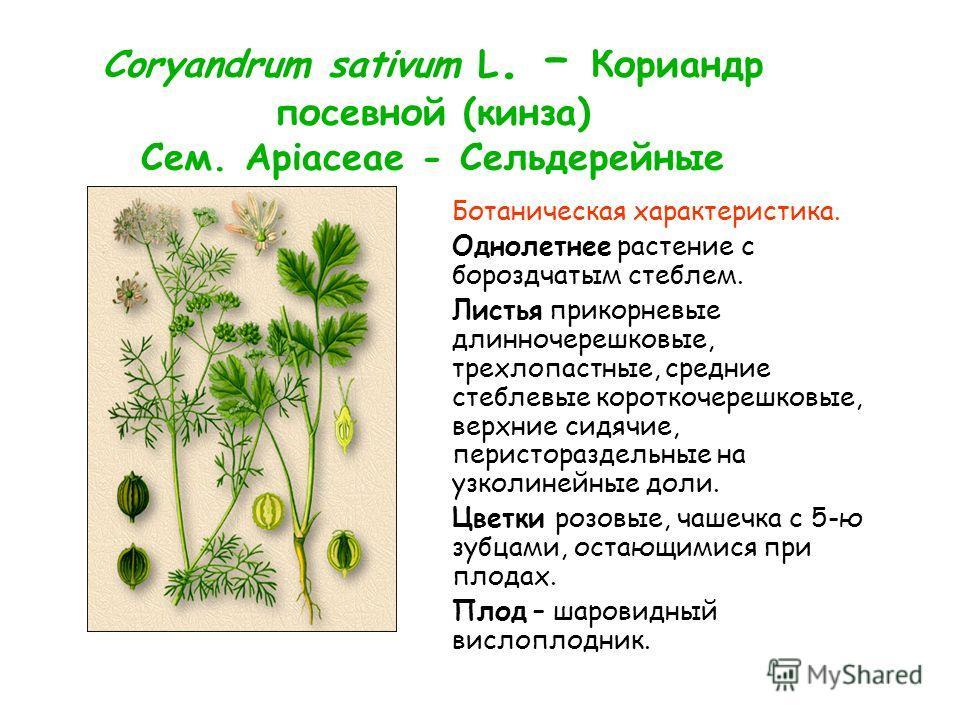Coryandrum sativum L. – Кориандр посевной (кинза) Сем. Apiaceae - Сельдерейные Ботаническая характеристика. Однолетнее растение с бороздчатым стеблем. Листья прикорневые длинночерешковые, трехлопастные, средние стеблевые короткочерешковые, верхние си