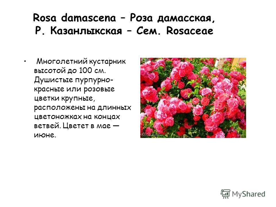 Rosa damascena – Роза дамасская, Р. Казанлыкская – Сем. Rosaceae Многолетний кустарник высотой до 100 см. Душистые пурпурно- красные или розовые цветки крупные, расположены на длинных цветоножках на концах ветвей. Цветет в мае июне.