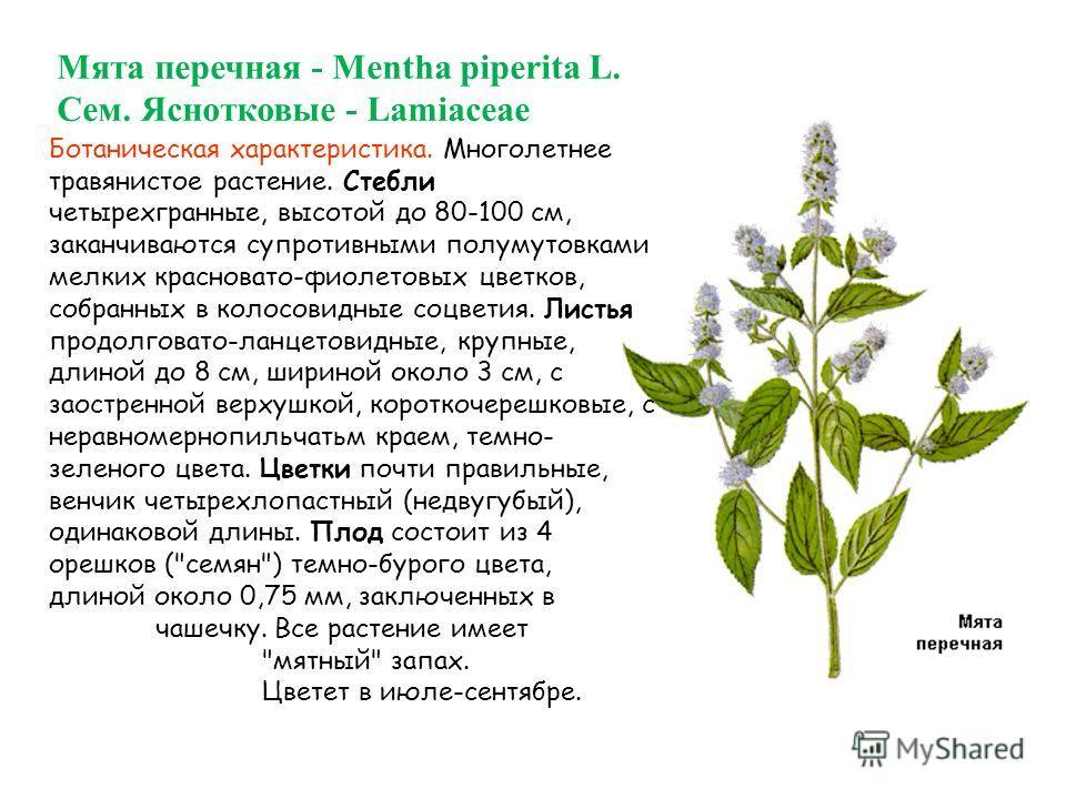 Мята перечная - Mentha piperita L. Сем. Яснотковые - Lamiaceae Ботаническая характеристика. Многолетнее травянистое растение. Стебли четырехгранные, высотой до 80-100 см, заканчиваются супротивными полумутовками мелких красновато-фиолетовых цветков,