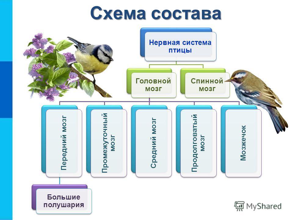 Нервная система птицы Головной мозг Передний мозг Большие полушария Промежуточный мозг Средний мозг Продолговатый мозг Мозжечок Спинной мозг Схема состава
