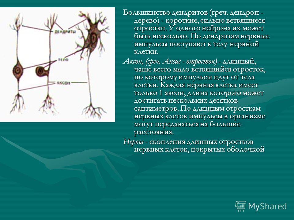 Большинство дендритов (греч. дендрон - дерево) - короткие, сильно ветвящиеся отростки. У одного нейрона их может быть несколько. По дендритам нервные импульсы поступают к телу нервной клетки. Аксон, (греч. Аксис - отросток) - длинный, чаще всего мало