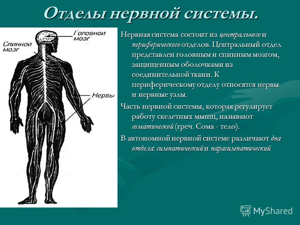 Отделы нервной системы. Нервная система состоит из центрального и периферического отделов. Центральный отдел представлен головным и спинным мозгом, защищенным оболочками из соединительной ткани. К периферическому отделу относятся нервы и нервные узлы