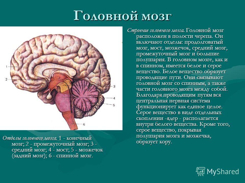 Головной мозг Отделы головного мозга. 1 - конечный мозг; 2 - промежуточный мозг; 3 - средний мозг; 4 - мост; 5 - мозжечок (задний мозг); 6 - спинной мозг. Строение головного мозга. Головной мозг расположен в полости черепа. Он включают отделы: продол