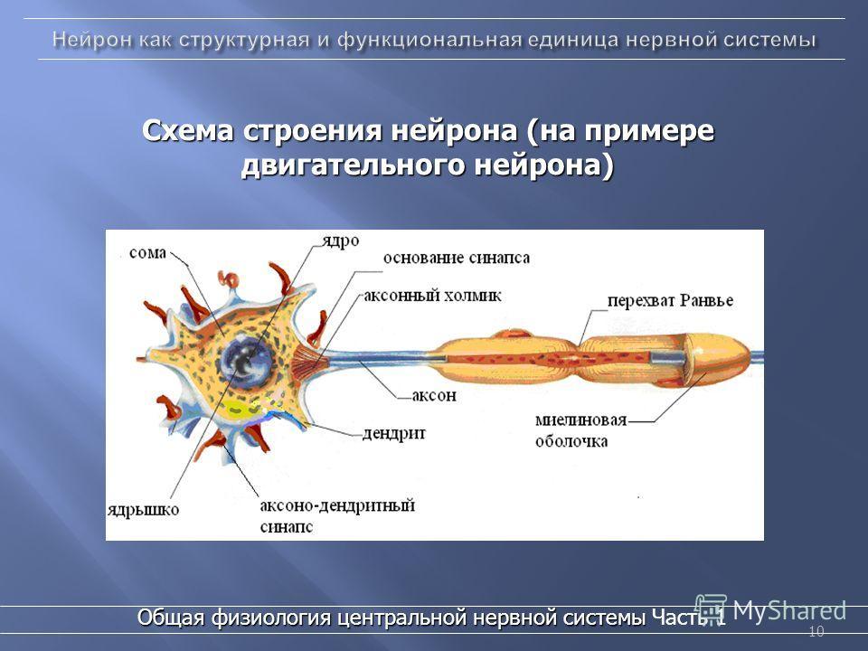 10 Схема строения нейрона (на примере двигательного нейрона) Общая физиология центральной нервной системы Общая физиология центральной нервной системы Часть 1