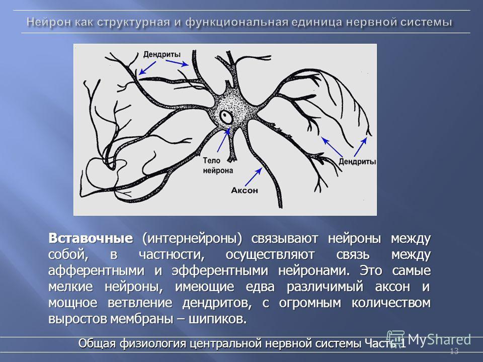 13 Вставочные (интернейроны) связывают нейроны между собой, в частности, осуществляют связь между афферентными и эфферентными нейронами. Это самые мелкие нейроны, имеющие едва различимый аксон и мощное ветвление дендритов, с огромным количеством выро
