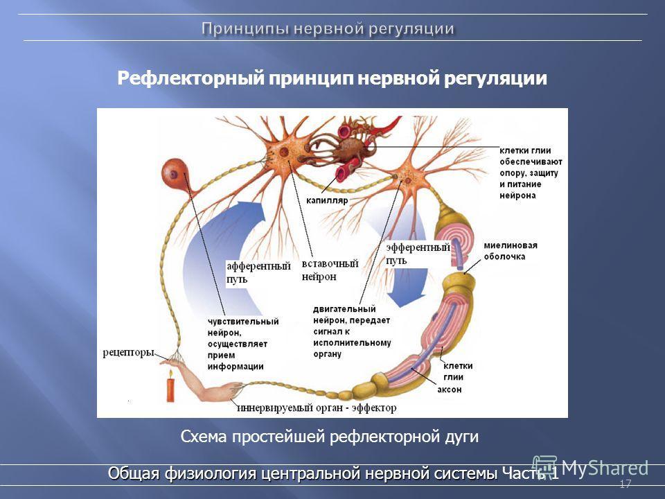 17 Общая физиология центральной нервной системы Общая физиология центральной нервной системы Часть 1 Рефлекторный принцип нервной регуляции Схема простейшей рефлекторной дуги