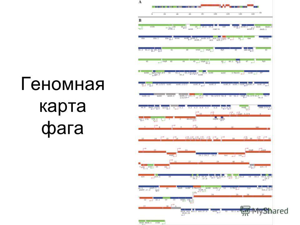 Геномная карта фага