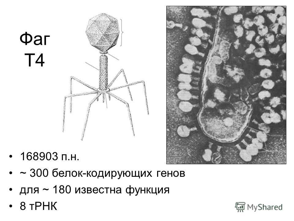 Фаг Т4 168903 п.н. ~ 300 белок-кодирующих генов для ~ 180 известна функция 8 тРНК