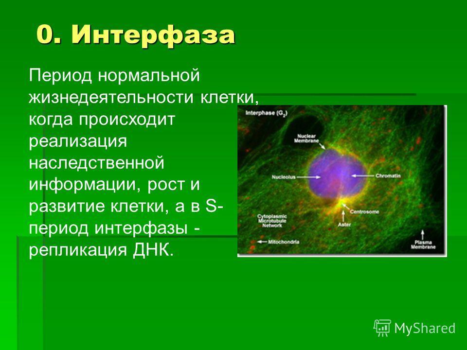 Период нормальной жизнедеятельности клетки, когда происходит реализация наследственной информации, рост и развитие клетки, а в S- период интерфазы - репликация ДНК. 0. Интерфаза