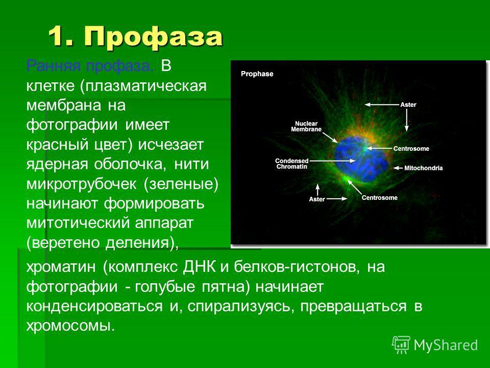Ранняя профаза. В клетке (плазматическая мембрана на фотографии имеет красный цвет) исчезает ядерная оболочка, нити микротрубочек (зеленые) начинают формировать митотический аппарат (веретено деления), хроматин (комплекс ДНК и белков-гистонов, на фот