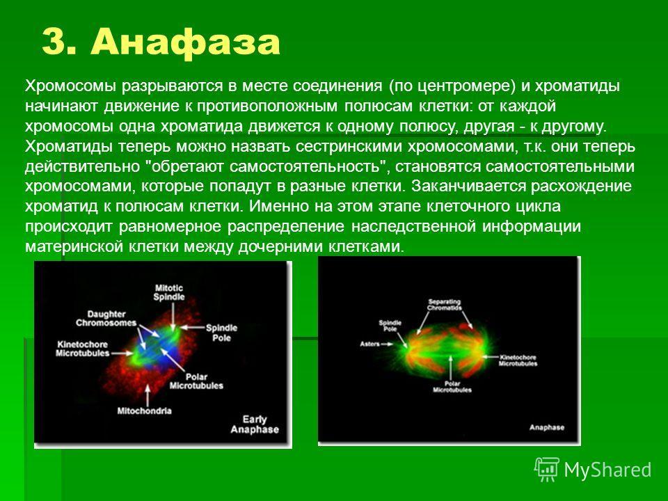 Хромосомы разрываются в месте соединения (по центромере) и хроматиды начинают движение к противоположным полюсам клетки: от каждой хромосомы одна хроматида движется к одному полюсу, другая - к другому. Хроматиды теперь можно назвать сестринскими хром