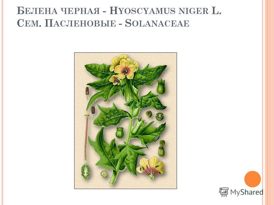Б ЕЛЕНА ЧЕРНАЯ - H YOSCYAMUS NIGER L. С ЕМ. П АСЛЕНОВЫЕ - S OLANACEAE