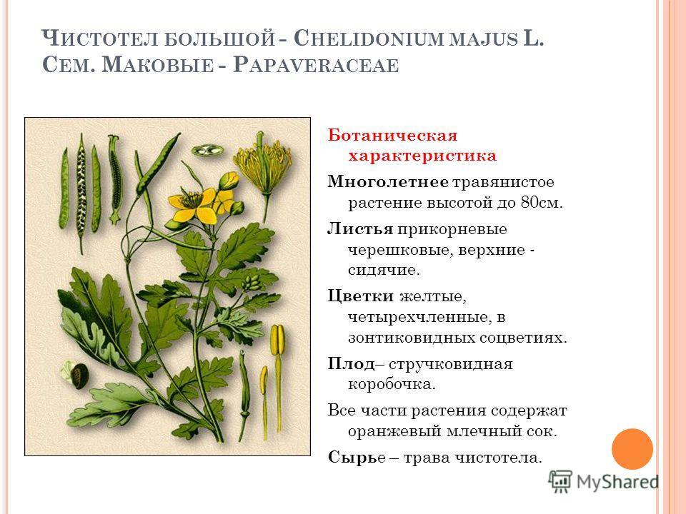 Ч ИСТОТЕЛ БОЛЬШОЙ - C HELIDONIUM MAJUS L. С ЕМ. М АКОВЫЕ - P APAVERACEAE Ботаническая характеристика Многолетнее травянистое растение высотой до 80см. Листья прикорневые черешковые, верхние - сидячие. Цветки желтые, четырехчленные, в зонтиковидных со