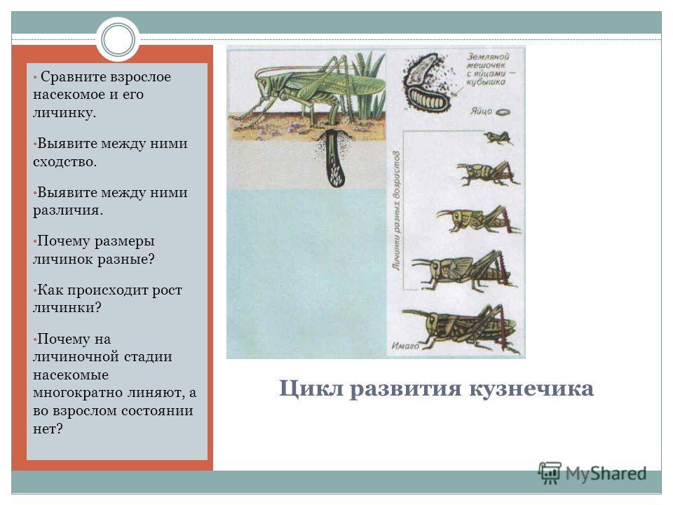Цикл развития кузнечика Сравните взрослое насекомое и его личинку. Выявите между ними сходство. Выявите между ними различия. Почему размеры личинок разные? Как происходит рост личинки? Почему на личиночной стадии насекомые многократно линяют, а во вз