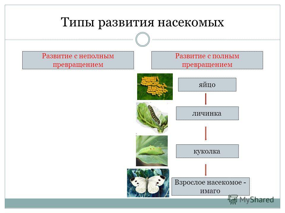 Типы развития насекомых Развитие с неполным превращением Развитие с полным превращением яйцо личинка Взрослое насекомое - имаго куколка