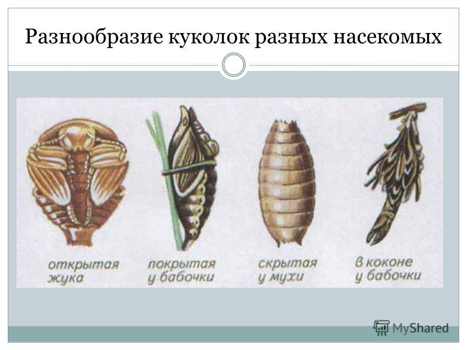 Куколок разных насекомых