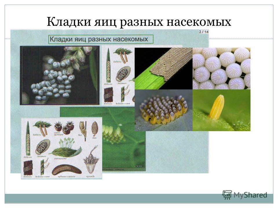 Кладки яиц разных насекомых