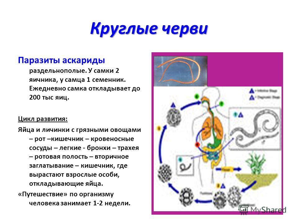 Круглые черви Паразиты аскариды раздельнополые. У самки 2 яичника, у самца 1 семенник. Ежедневно самка откладывает до 200 тыс яиц. Цикл развития: Яйца и личинки с грязными овощами – рот –кишечник – кровеносные сосуды – легкие - бронхи – трахея – рото