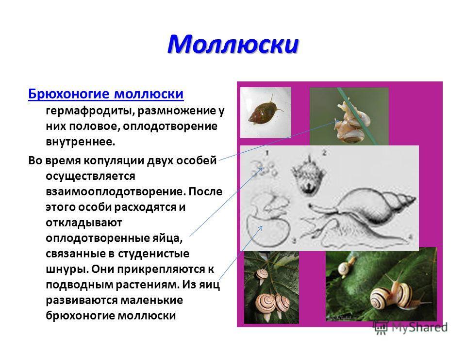 Моллюски Брюхоногие моллюски гермафродиты, размножение у них половое, оплодотворение внутреннее. Во время копуляции двух особей осуществляется взаимооплодотворение. После этого особи расходятся и откладывают оплодотворенные яйца, связанные в студенис