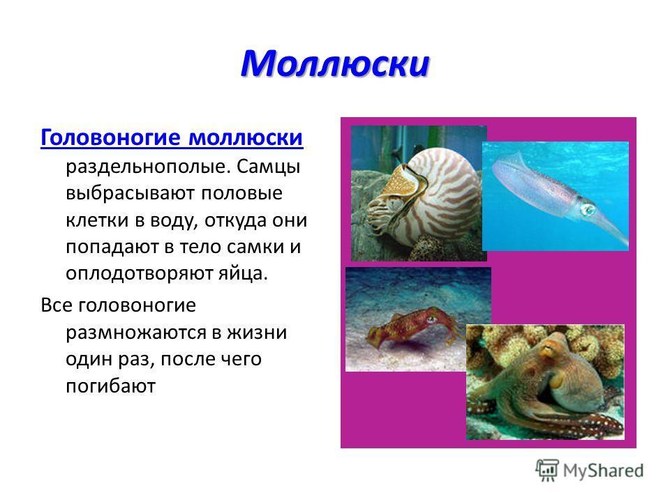 Моллюски Головоногие моллюски раздельнополые. Самцы выбрасывают половые клетки в воду, откуда они попадают в тело самки и оплодотворяют яйца. Все головоногие размножаются в жизни один раз, после чего погибают