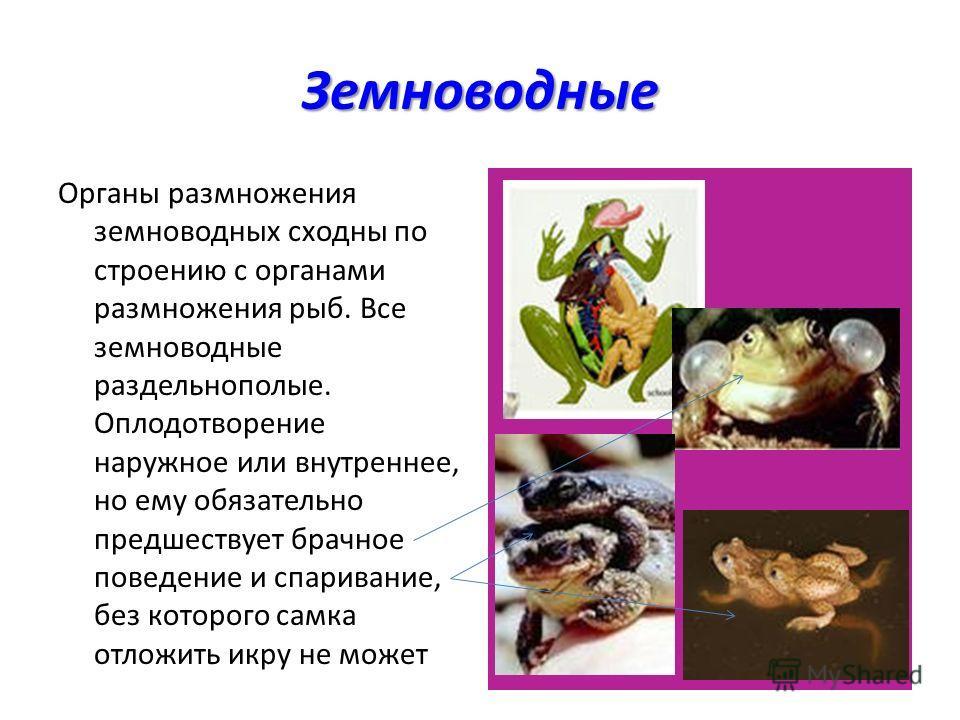 Земноводные Органы размножения земноводных сходны по строению с органами размножения рыб. Все земноводные раздельнополые. Оплодотворение наружное или внутреннее, но ему обязательно предшествует брачное поведение и спаривание, без которого самка отлож