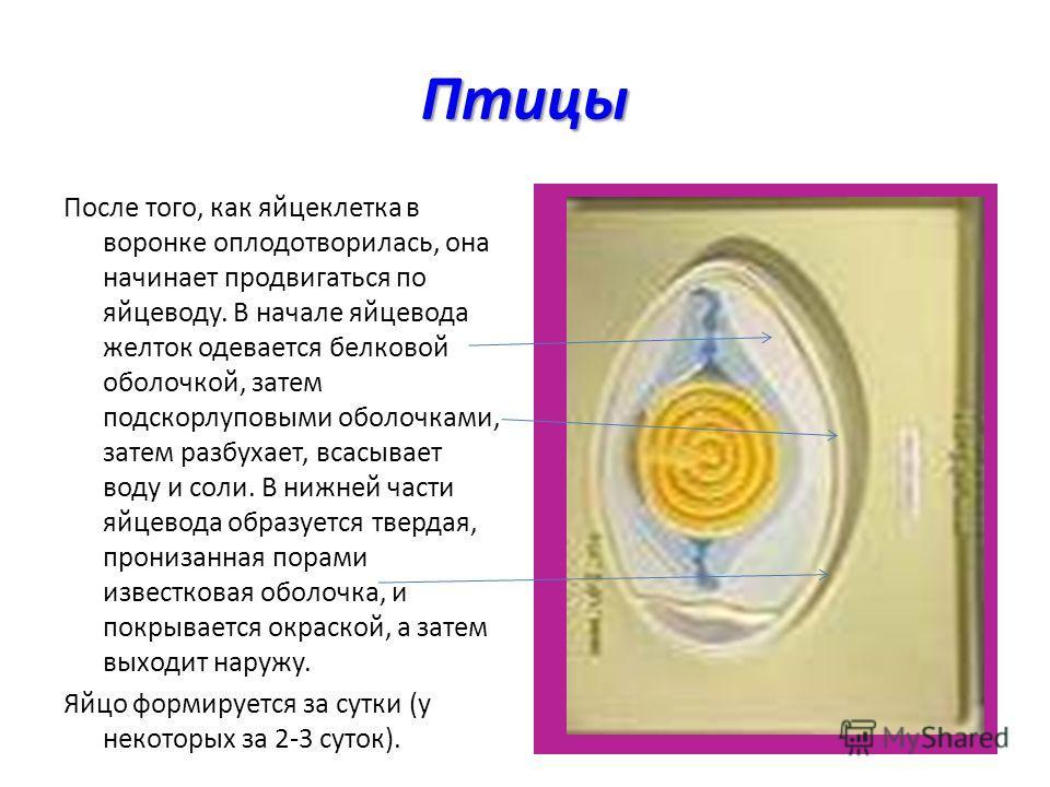 Птицы После того, как яйцеклетка в воронке оплодотворилась, она начинает продвигаться по яйцеводу. В начале яйцевода желток одевается белковой оболочкой, затем подскорлуповыми оболочками, затем разбухает, всасывает воду и соли. В нижней части яйцевод
