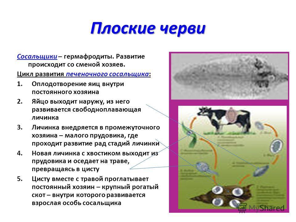 Плоские черви Сосальщики – гермафродиты. Развитие происходит со сменой хозяев. Цикл развития печеночного сосальщика: 1.Оплодотворение яиц внутри постоянного хозяина 2.Яйцо выходит наружу, из него развивается свободноплавающая личинка 3.Личинка внедря