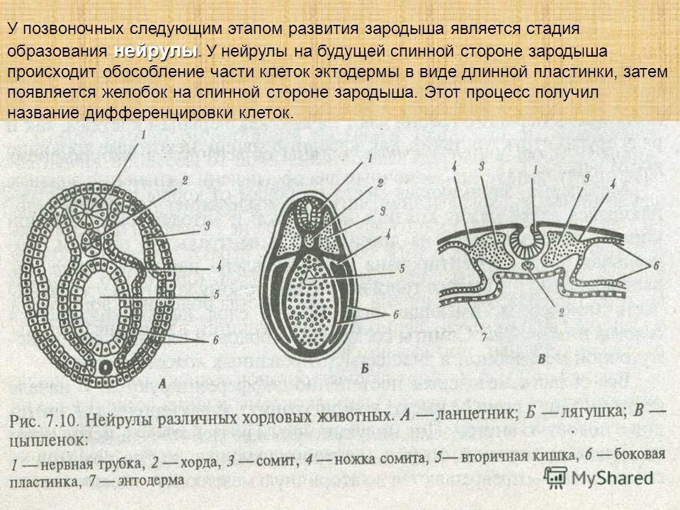 нейрулы У позвоночных следующим этапом развития зародыша является стадия образования нейрулы. У нейрулы на будущей спинной стороне зародыша происходит обособление части клеток эктодермы в виде длинной пластинки, затем появляется желобок на спинной ст