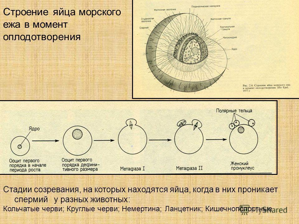 Строение яйца морского ежа в момент оплодотворения Стадии созревания, на которых находятся яйца, когда в них проникает спермий у разных животных: Кольчатые черви; Круглые черви; Немертина; Ланцетник; Кишечнополостные