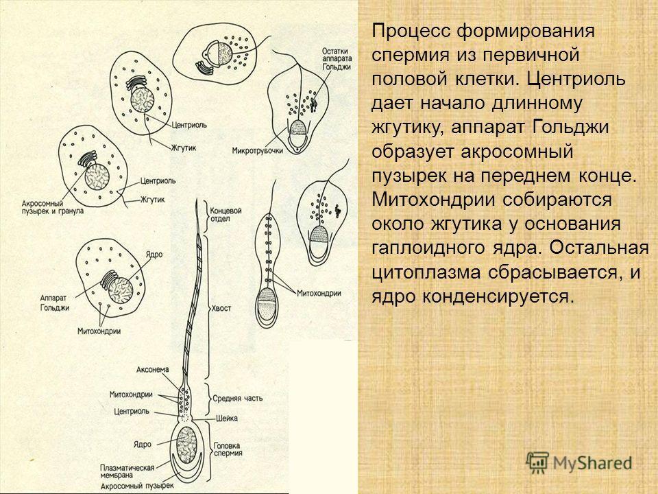 первичной половой клетки.