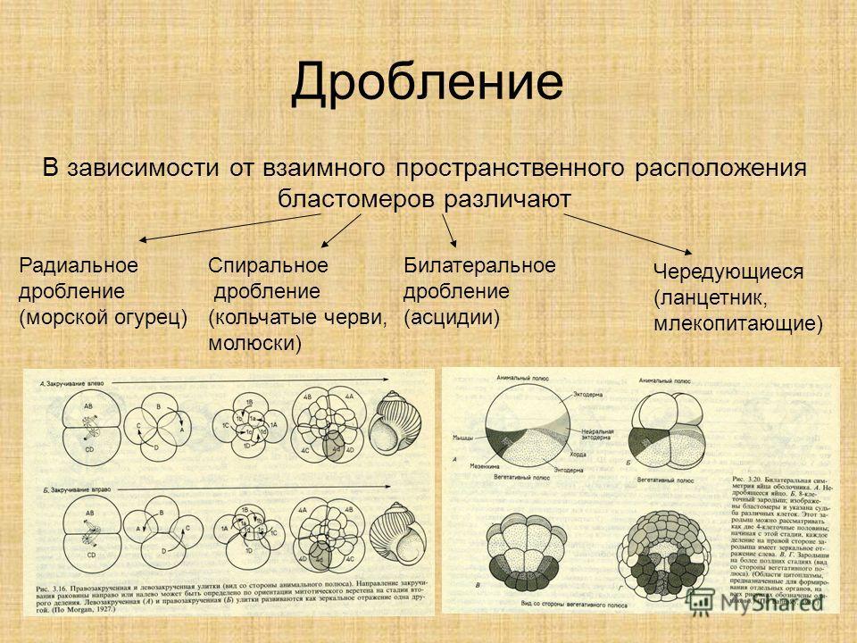 Дробление В зависимости от взаимного пространственного расположения бластомеров различают Радиальное дробление (морской огурец) Спиральное дробление (кольчатые черви, молюски) Билатеральное дробление (асцидии) Чередующиеся (ланцетник, млекопитающие)