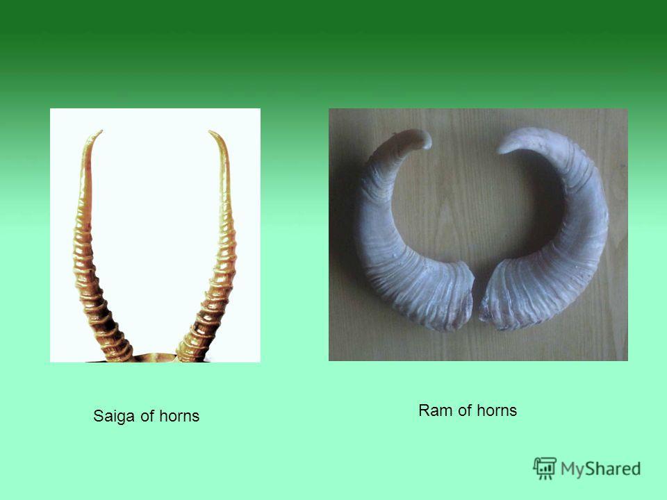 Saiga of horns Ram of horns