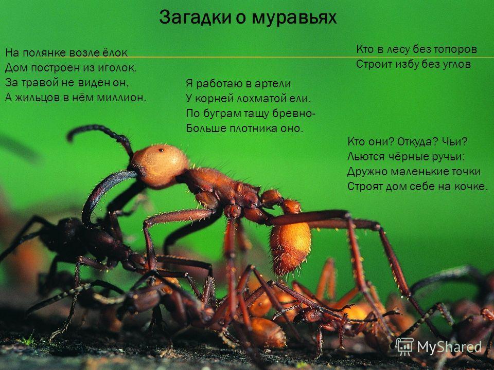 Загадки о муравьях На полянке возле ёлок Дом построен из иголок. За травой не виден он, А жильцов в нём миллион. Кто в лесу без топоров Строит избу без углов Кто они? Откуда? Чьи? Льются чёрные ручьи: Дружно маленькие точки Строят дом себе на кочке.