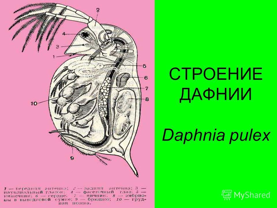 СТРОЕНИЕ ДАФНИИ Daphnia pulex