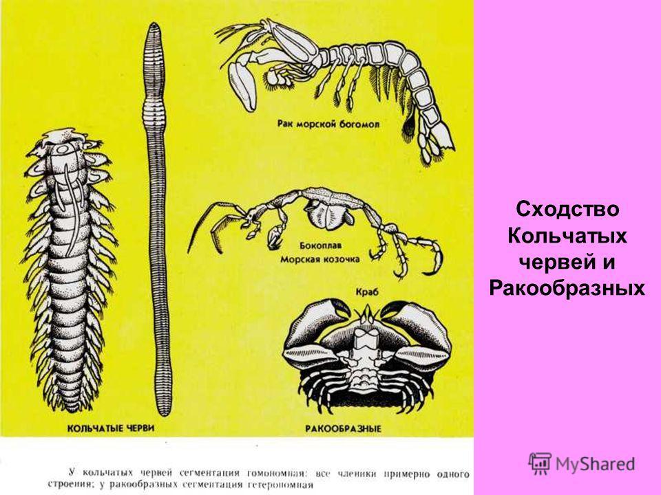 Сходство Кольчатых червей и Ракообразных
