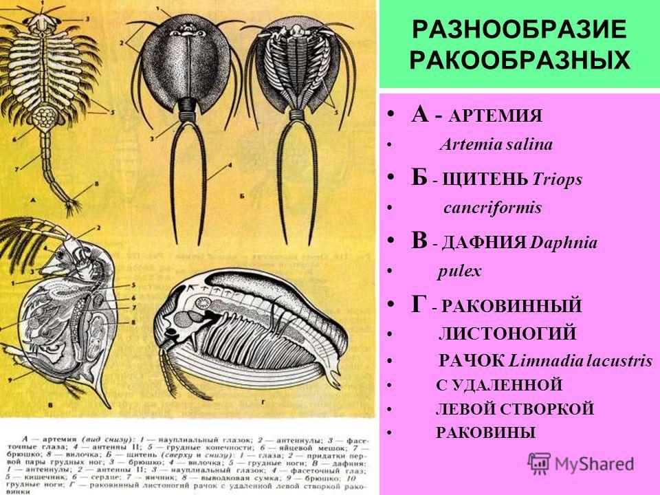 РАЗНООБРАЗИЕ РАКООБРАЗНЫХ А - АРТЕМИЯ Artemia salina Б - ЩИТЕНЬ Triops cancriformis В - ДАФНИЯ Daphnia pulex Г - РАКОВИННЫЙ ЛИСТОНОГИЙ РАЧОК Limnadia lacustris С УДАЛЕННОЙ ЛЕВОЙ СТВОРКОЙ РАКОВИНЫ