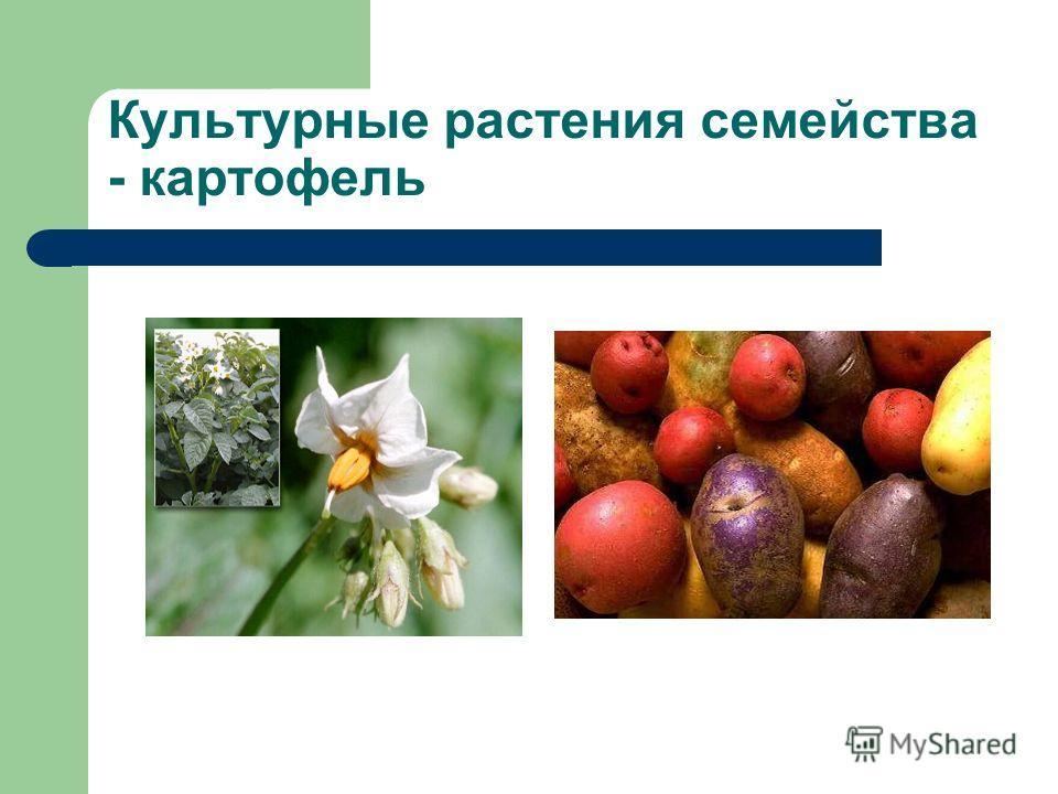 Культурные растения семейства - картофель