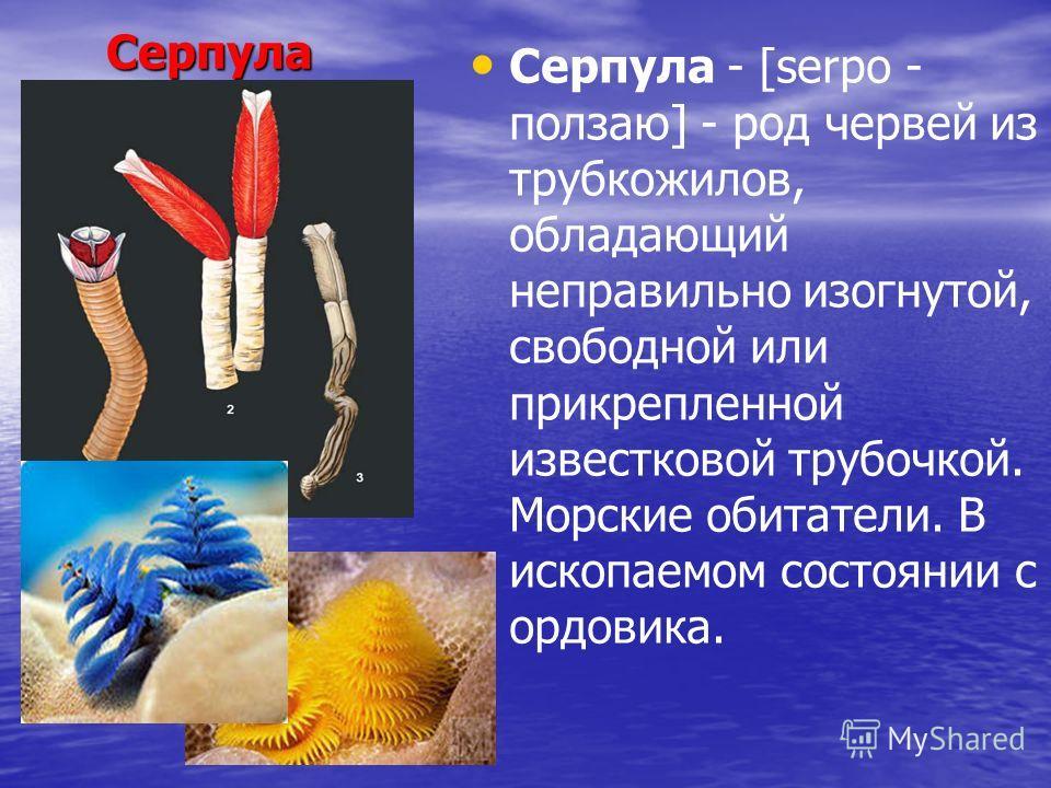 Серпула Серпула Серпула - [serpo - ползаю] - род червей из трубкожилов, обладающий неправильно изогнутой, свободной или прикрепленной известковой трубочкой. Морские обитатели. В ископаемом состоянии с ордовика.