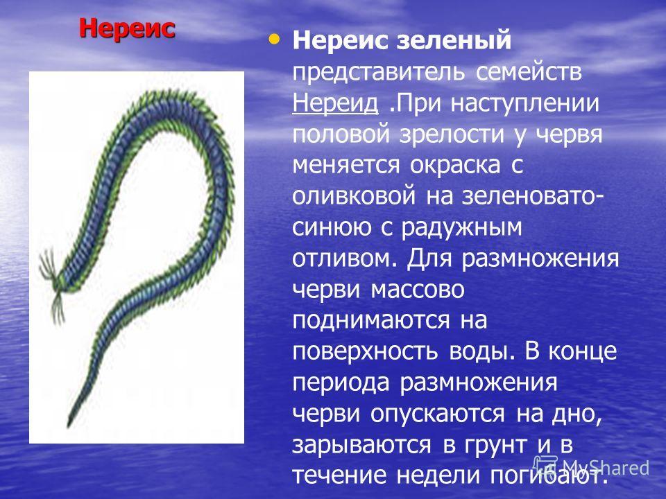 Нереис Нереис Нереис зеленый представитель семейств Нереид.При наступлении половой зрелости у червя меняется окраска с оливковой на зеленовато- синюю с радужным отливом. Для размножения черви массово поднимаются на поверхность воды. В конце периода р