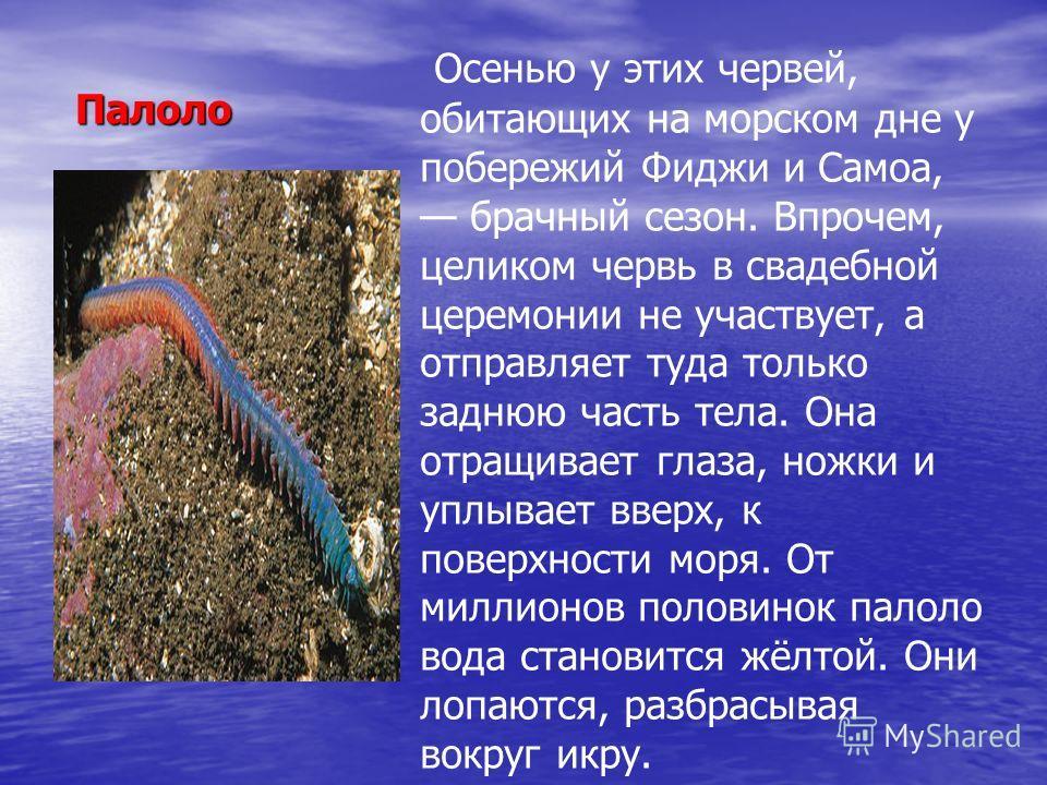 Палоло Палоло Осенью у этих червей, обитающих на морском дне у побережий Фиджи и Самоа, брачный сезон. Впрочем, целиком червь в свадебной церемонии не участвует, а отправляет туда только заднюю часть тела. Она отращивает глаза, ножки и уплывает вве