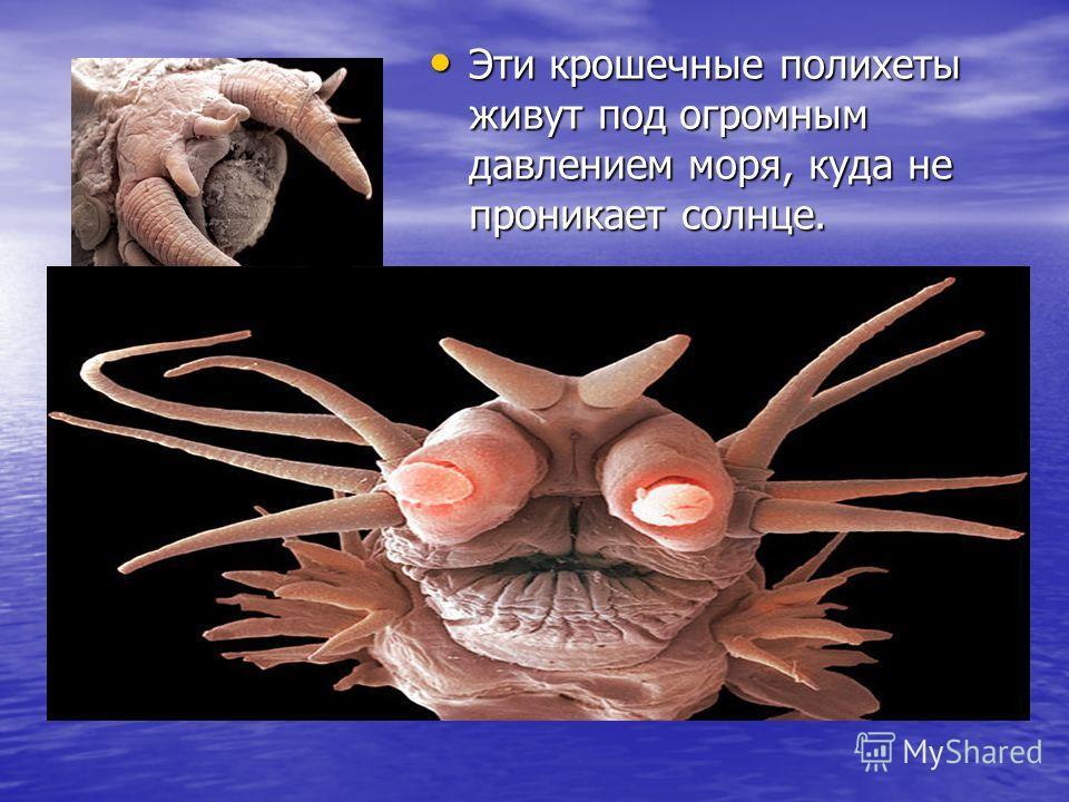 Эти крошечные полихеты живут под огромным давлением моря, куда не проникает солнце. Эти крошечные полихеты живут под огромным давлением моря, куда не проникает солнце.