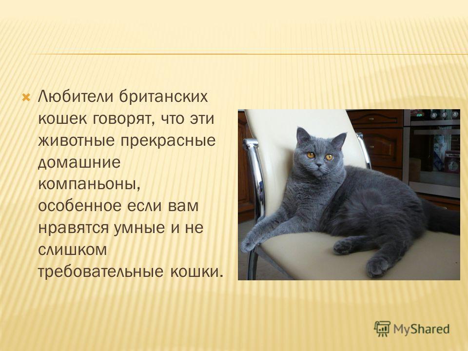 Любители британских кошек говорят, что эти животные прекрасные домашние компаньоны, особенное если вам нравятся умные и не слишком требовательные кошки.