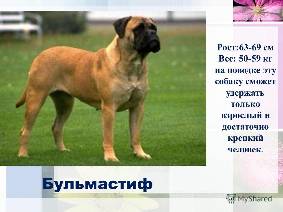 Бульмастиф Рост:63-69 см Вес: 50-59 кг на поводке эту собаку сможет удержать только взрослый и достаточно крепкий человек.