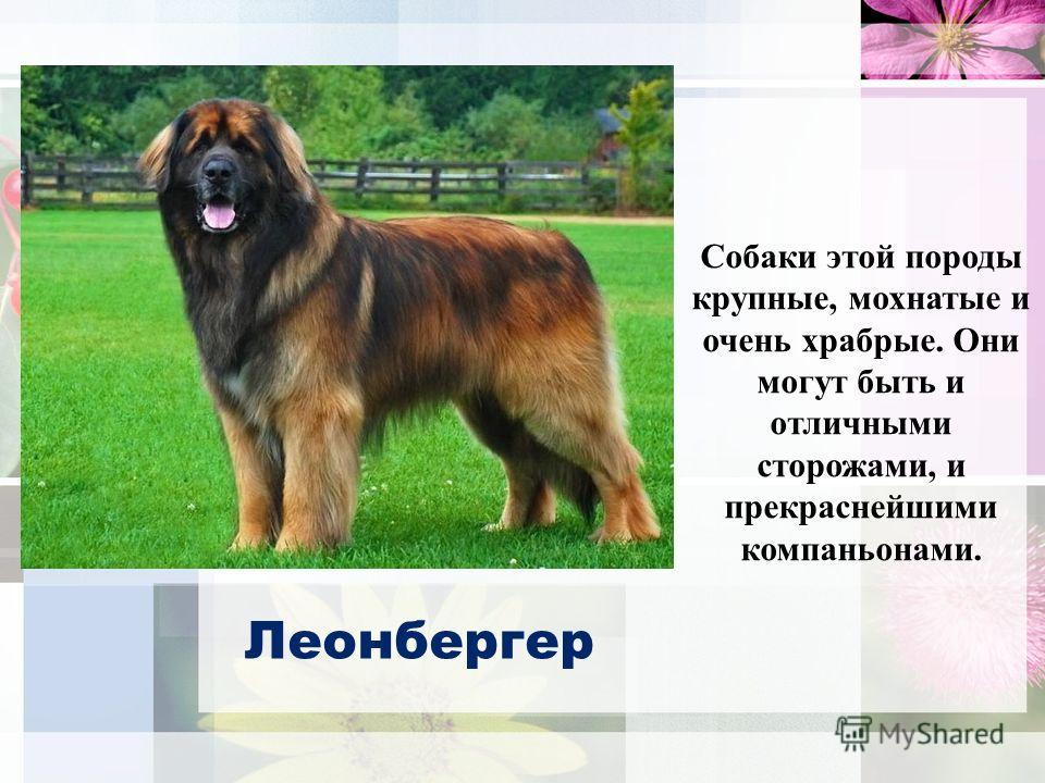 Собаки этой породы крупные, мохнатые и очень храбрые. Они могут быть и отличными сторожами, и прекраснейшими компаньонами. Леонбергер