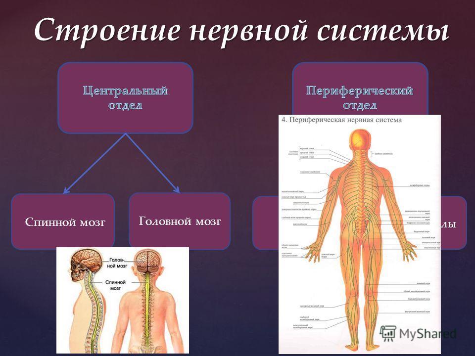 Строение нервной системы Спинной мозг Головной мозг Нервы Нервные узлы Нервные окончания