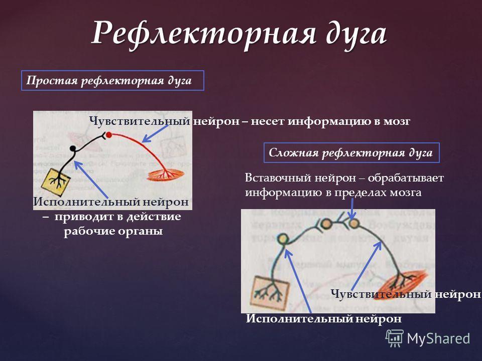 Чувствительный нейрон – несет информацию в мозг Исполнительный нейрон – приводит в действие рабочие органы Чувствительный нейрон Исполнительный нейрон Вставочный нейрон – обрабатывает информацию в пределах мозга Простая рефлекторная дуга Сложная рефл