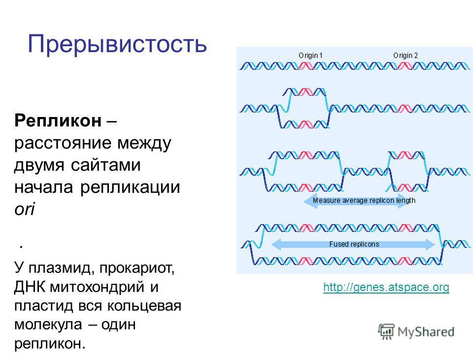 Прерывистость Репликон – расстояние между двумя сайтами начала репликации ori. У плазмид, прокариот, ДНК митохондрий и пластид вся кольцевая молекула – один репликон. http://genes.atspace.org