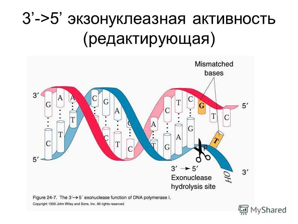 3->5 экзонуклеазная активность (редактирующая)