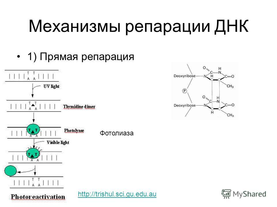 Механизмы репарации ДНК 1) Прямая репарация Фотолиаза http://trishul.sci.gu.edu.au